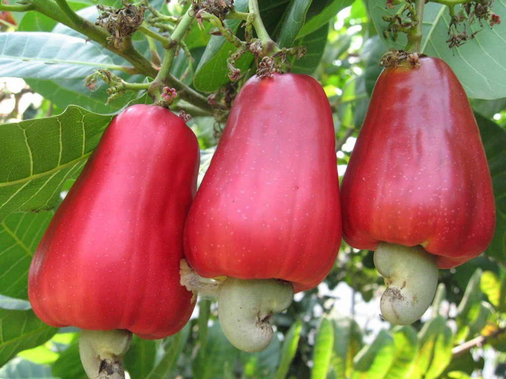 Cashew Fruit Picking in Costa Rica